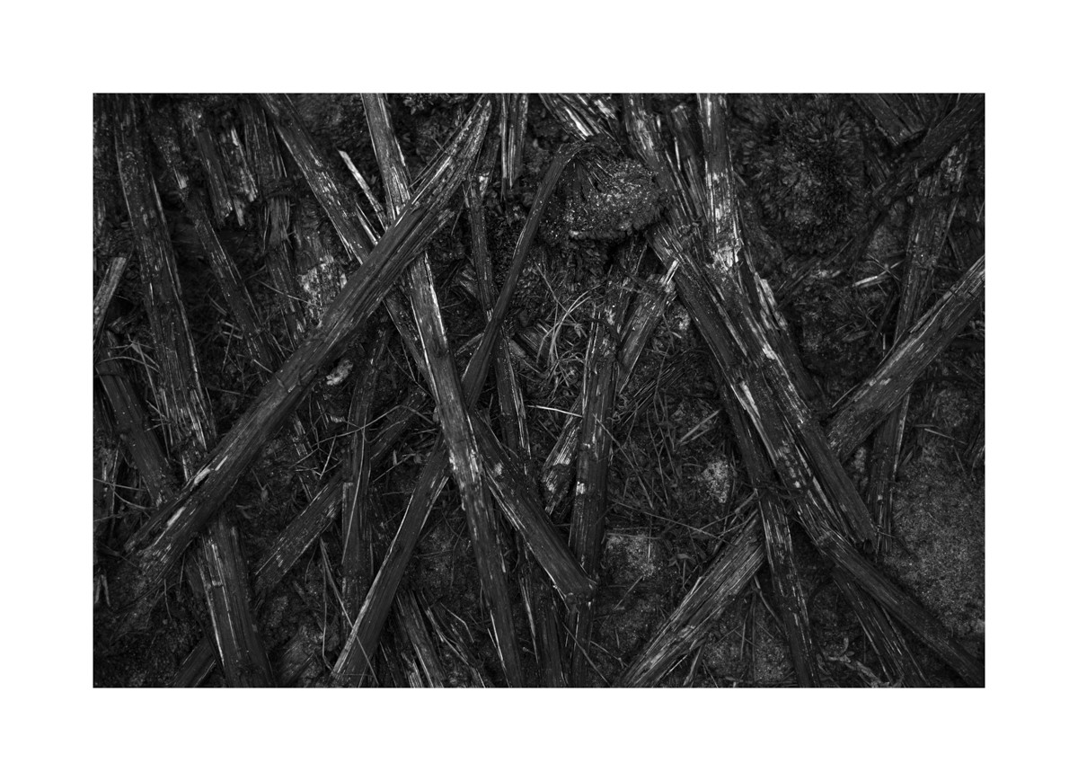 Les tournesols morts, Landes 2017